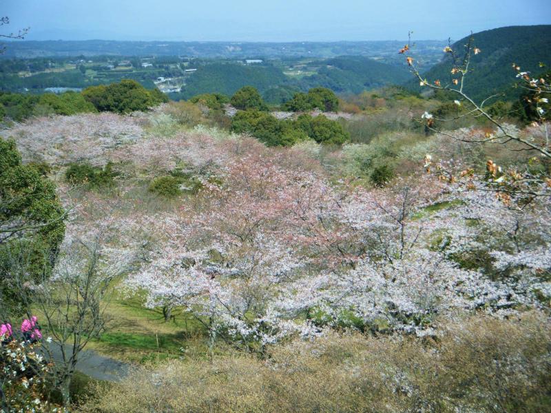 ・桜の広場(全景)